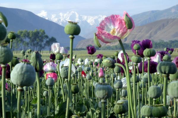 http://www.urantiansojourn.com/wp-content/uploads/2009/10/afghanistan_poppy.preview.jpg